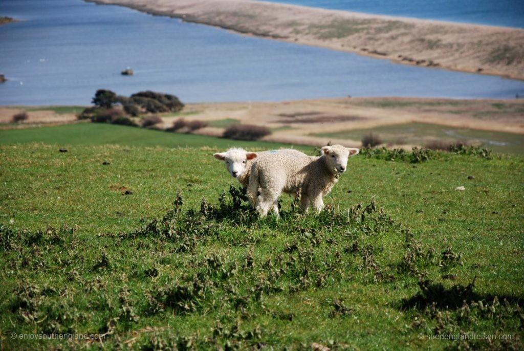 Lämmer an der Küste Dorsets (Jurassic Coast)