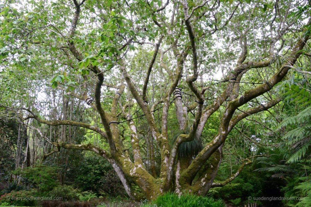 """Das ist übrigens kein echter Baum, sondern eine Magnolie! Eine """"Magnolia Campellii"""" aus dem Himalaya"""