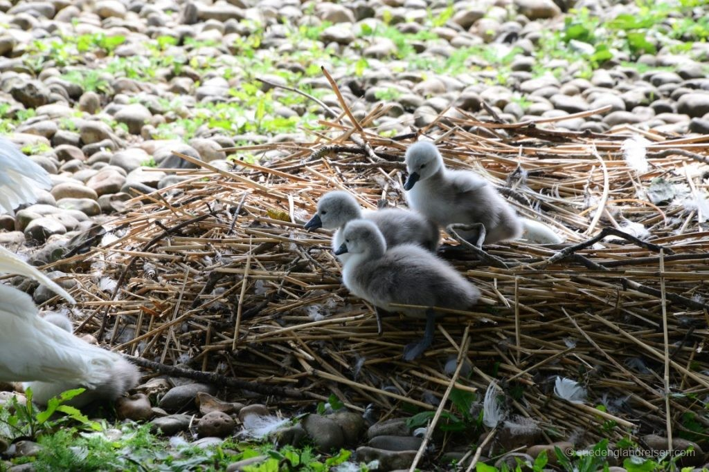 Familienausflug in der Swannery in Abbotsbury