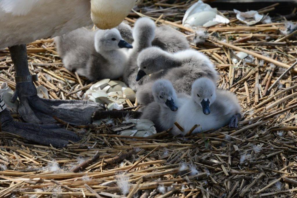 Und die Baby Swanes sind teilweise gerade erst geschlüpft!
