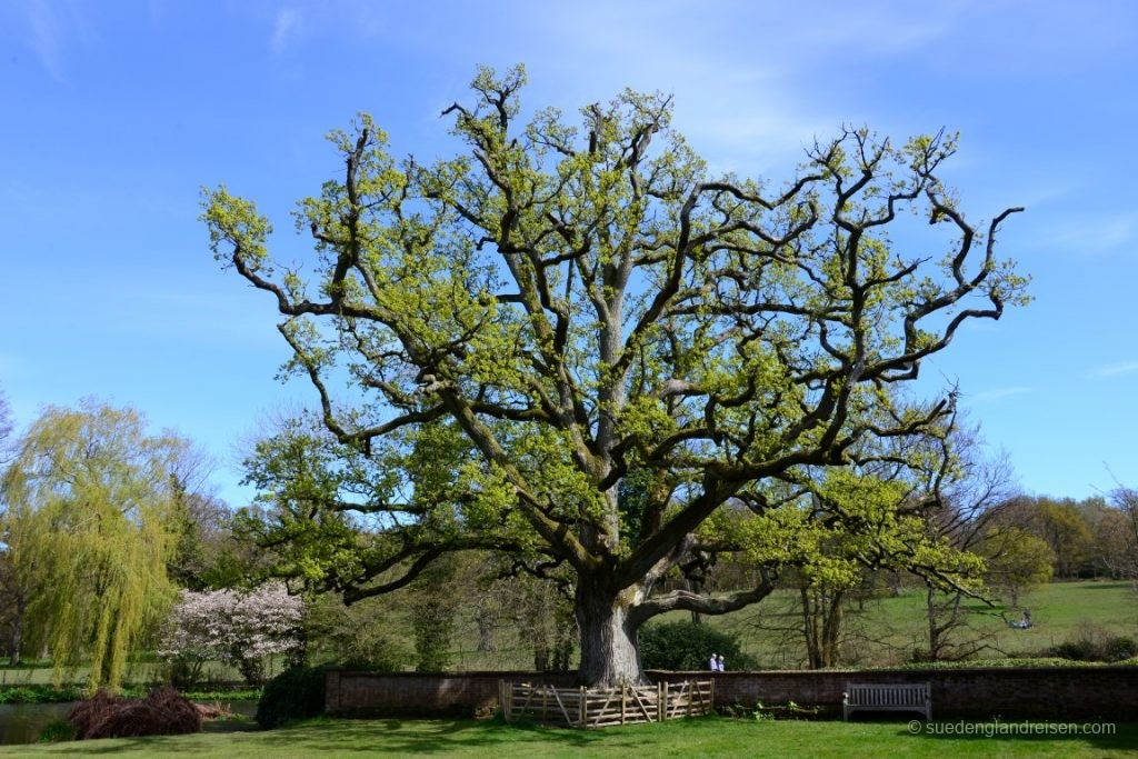 Scotney Castle - einfach mächtig, dieser Baum!
