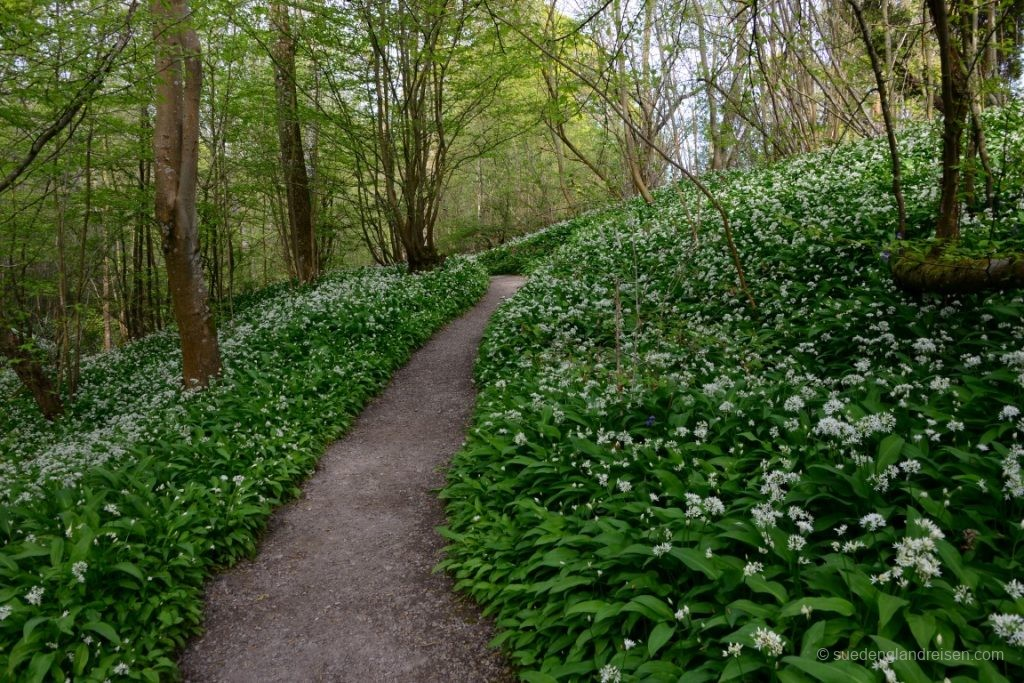 Wild Garlic Walk