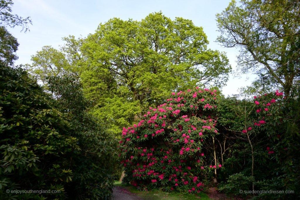 Die ersten Rhododendren blühen erst jetzt, so spät sind wir im dran dieses Jahr!