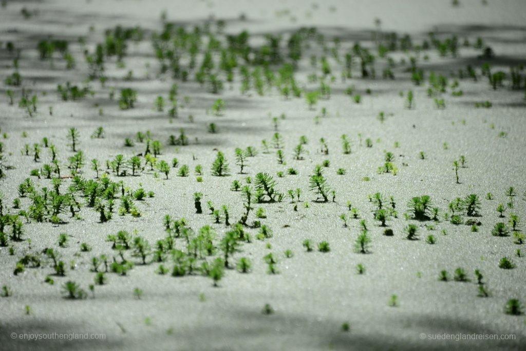 Suchbild: Was ist das? Lösung: Winzige Tannenäste im Teich von Enys Gardens.