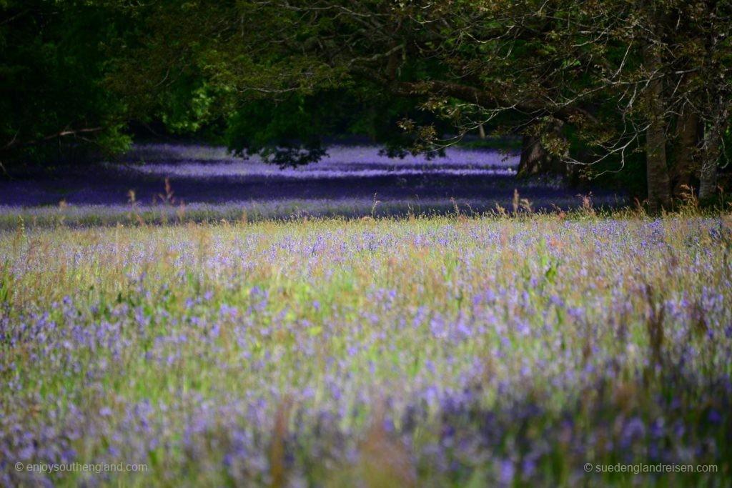 Bluebells bis zum Horizont in Enys Gardens in Cornwall
