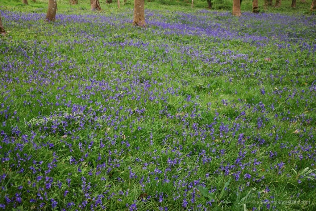 Bluebells in Hestercombe Gardens