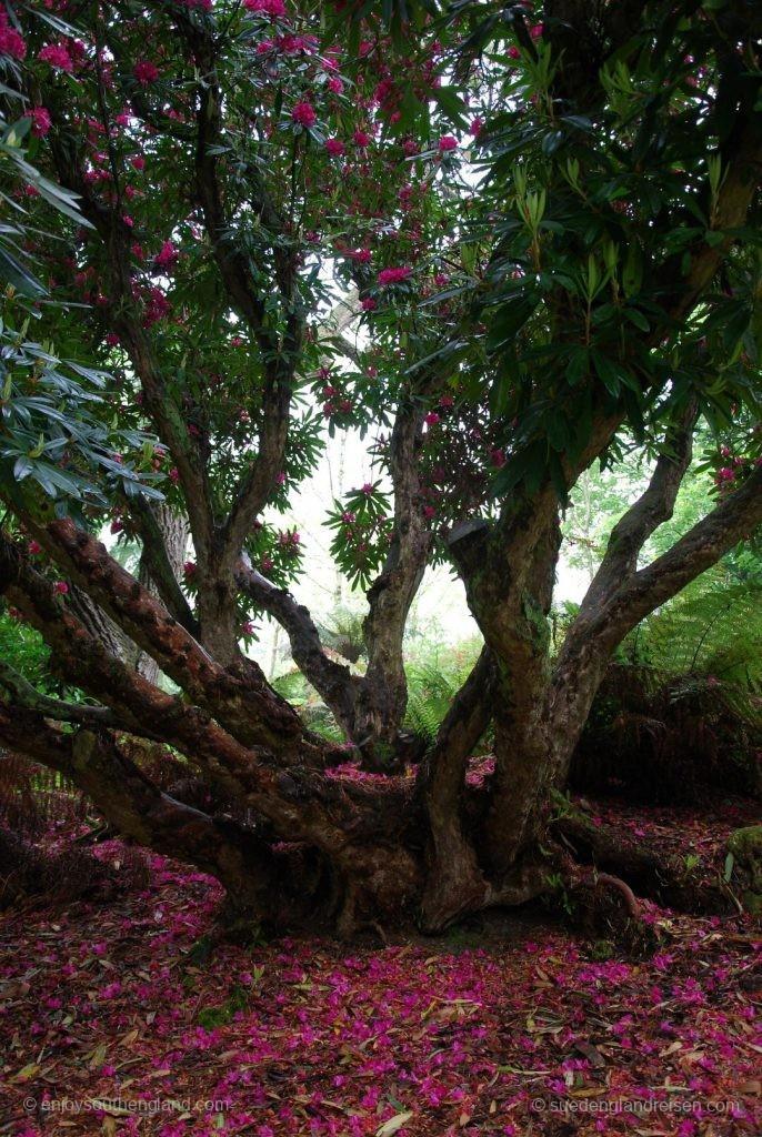 unter einem riesrigen Rhododendron in den Lost Gardens of Heligan