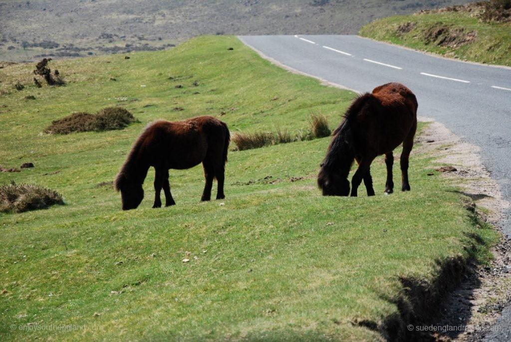 allgegenwärtig sind die Dartmoor-Ponys