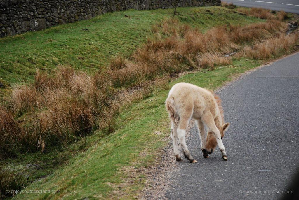 Achtung: Ein Dartmoor-Pony!