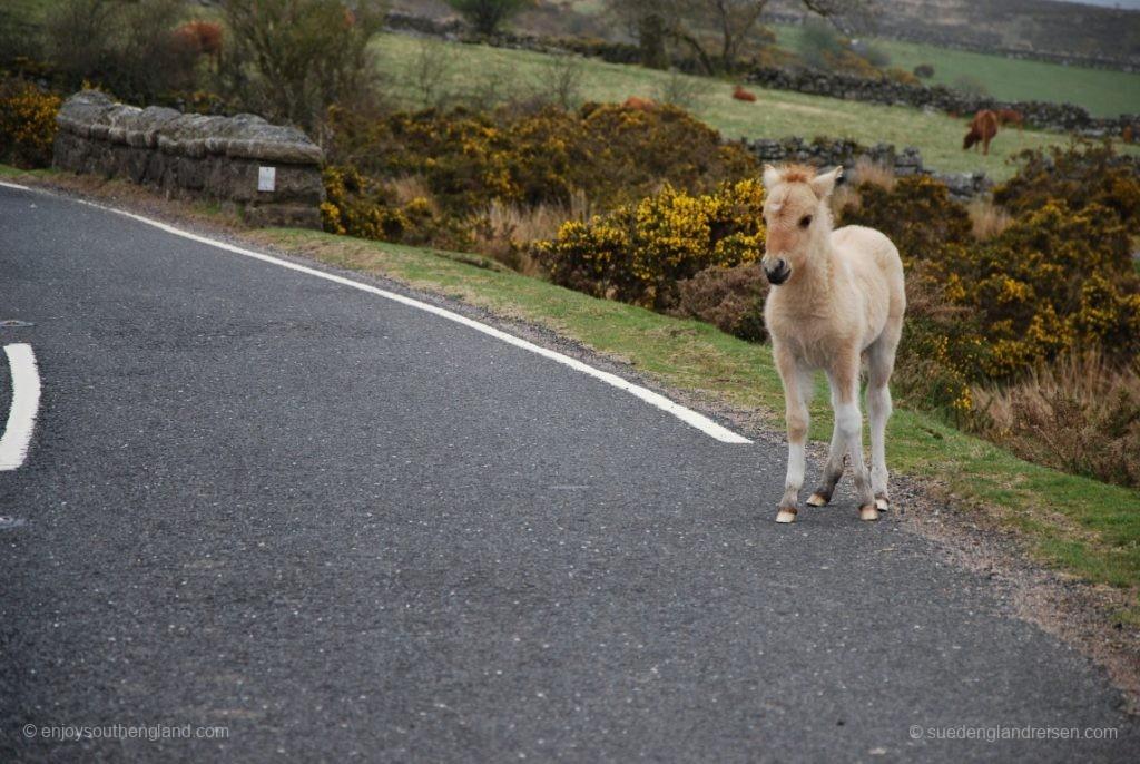 Ein Dartmoor-Pony am Strassenrand