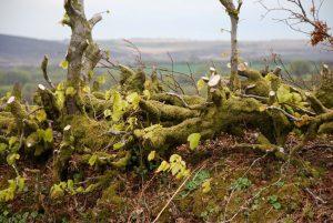 Hedge Laying - hier an einer ganz frischen Hecke gezeigt.