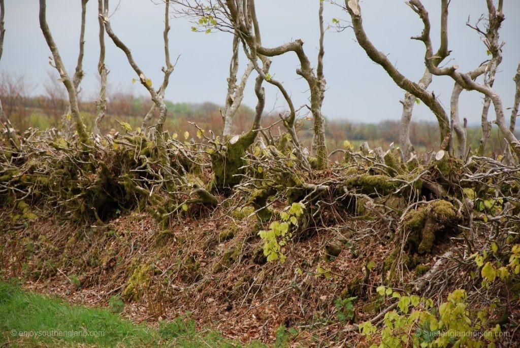 Hedge Laying - ein kleiner Teil der bisherigen Hecke bleibt stehen, der Rest niedergelegt.