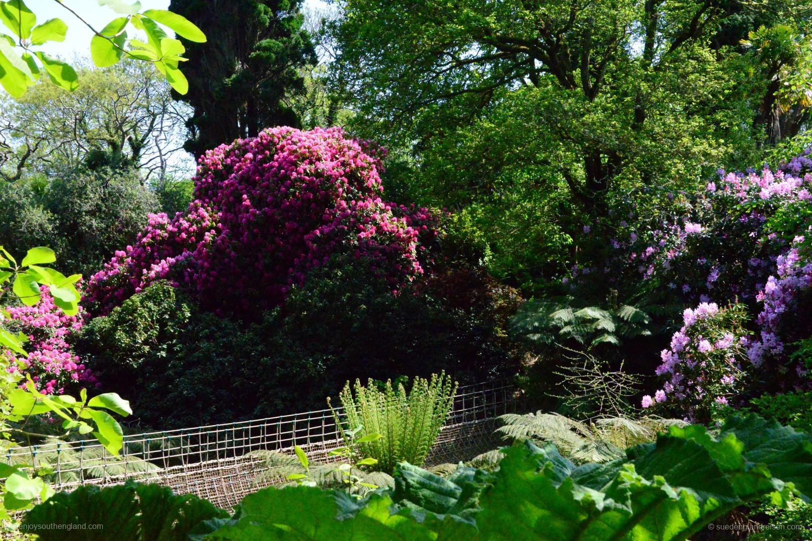 Üppige Rhododendren in einem tiefen Tal, dem Dschungel der Lost Gardens of Heligan