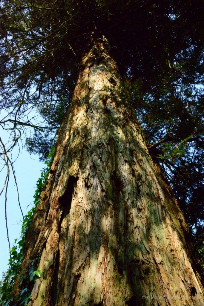 Mächtige und uralte Bäume in den Lost Gardens of Heligan
