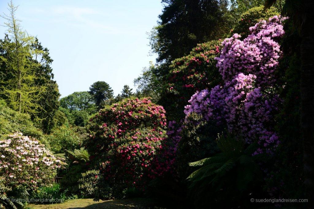 Die Rhododendren fühlen sich in den Lost Gardens of Heligan außerordentlich wohl