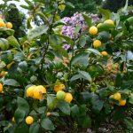Was für eine Mischung: Üppige Rhododendren und beinahe erntereife Zitronen in den Lost Gardens of Helogan (Cornwall)