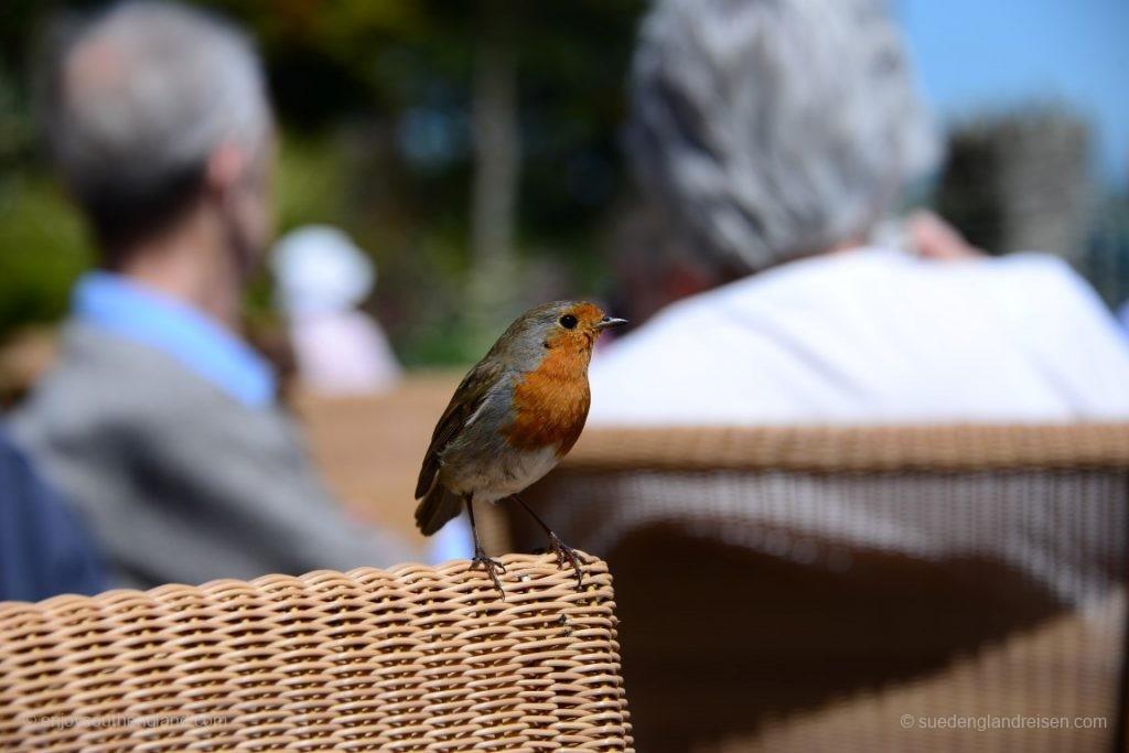Gast beim Tee in Overbeck's Garden (Devon)