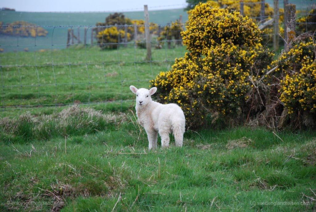 Schafe und Ginster auf dem Selworthy Beacon