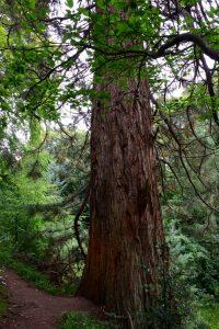 Mächtige Mammutbäume im Garten von Cawdor Castle