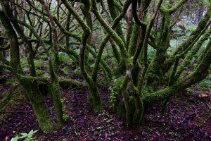 Riesige Rhododendren (fast schon Bäume) im Arduaine Garden