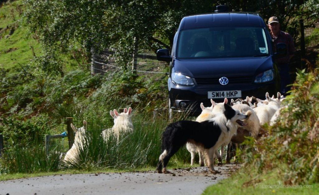 Kleine Straßensperre - der Hirtenhund macht seine Arbeit!