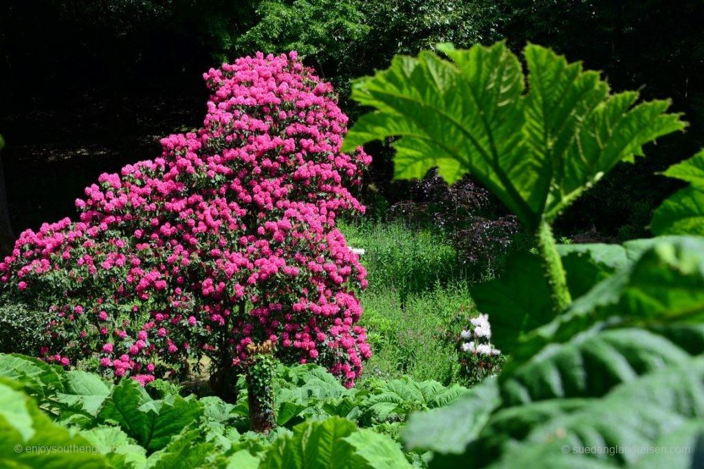 """Einträchtig nebeneinander wachsen hier im Trebah Garden mächtige und herrlich blühende Rhododendren neben """"Giant Rhubarb"""", also Riesen-Rhabarber (Gunnera manicata)"""