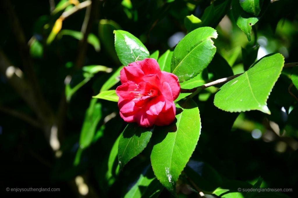 Blume im Trebah Garden (Cornwall)