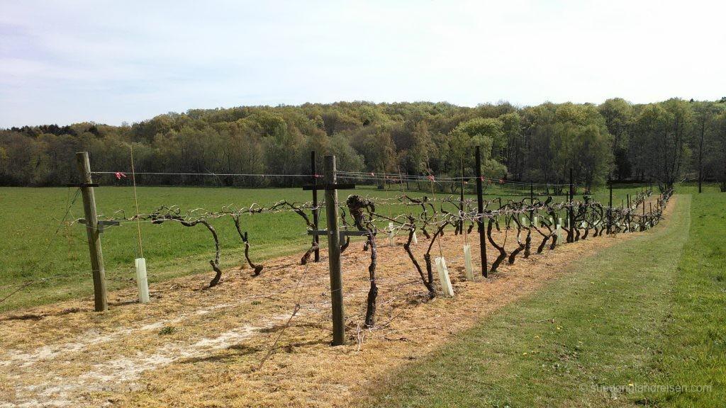 Der Weingarten ist dann doch etwas größer, aber mit diesen Reben begann die Geschichte des Weingutes in den 1970er Jahren.