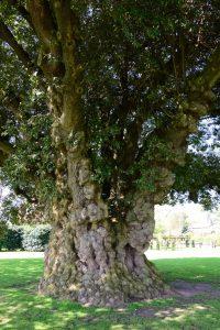 Ein mächtiger uralter Baum im Westbury Court Garden