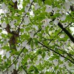 """Ein """"Taschentuch-Baum"""" im Hergest Croft Garden"""