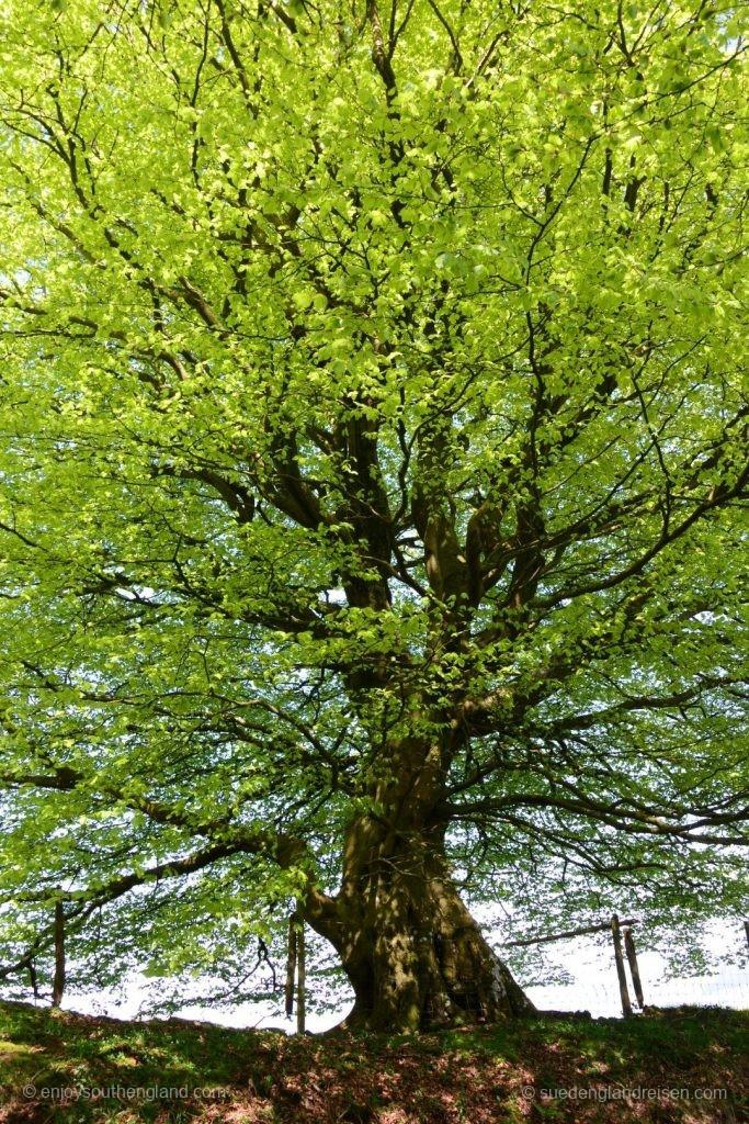 Einer von nahezu unendlich vielen mächtigen Bäumen