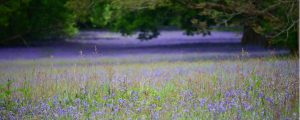 website_bluebells
