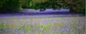 Bluebells-Feld in Enys Gardens