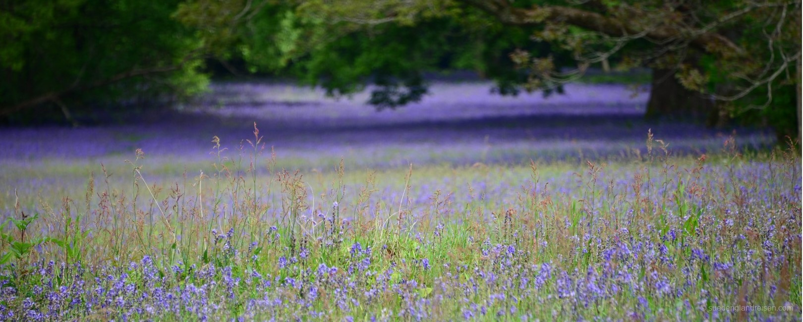 Bluebell field in Enys gardens